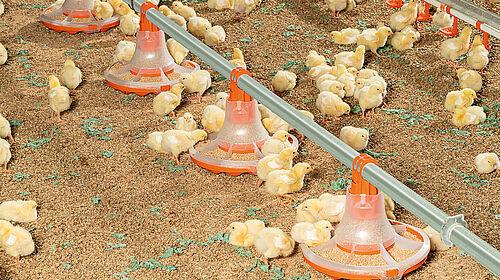 Pulcini che mangiano dal nuovo piatto per la produzione di broiler