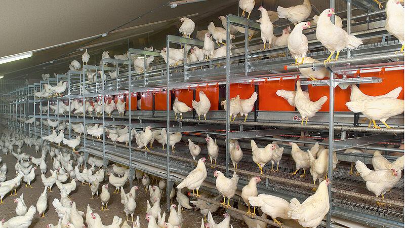 Voliere NATURA Step per la produzione di uova