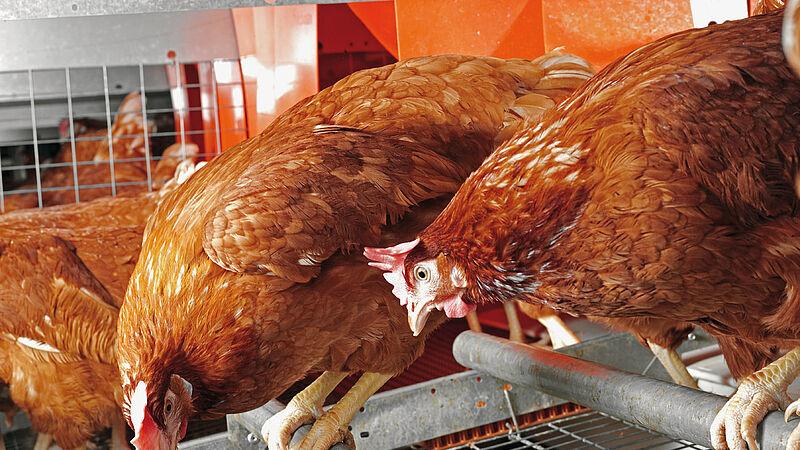 Colony-EU per lo svezzamento e la produzione di uova