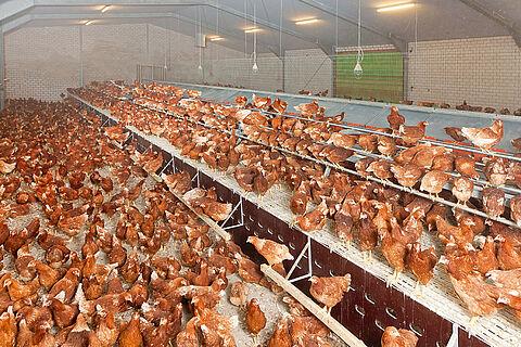 Posatoio con fossa pollina (la produzione di uova biologiche, a terra e free-range)
