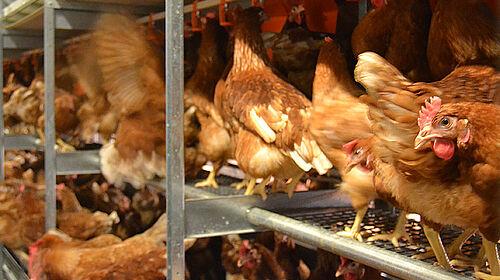 Avvicinamento tra galline ovaiole nella voliera