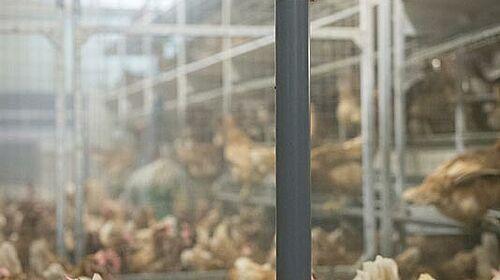 Allevamento di galline con pendolo PickPuck