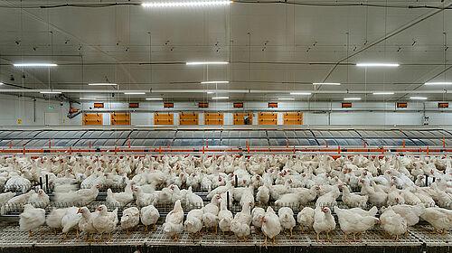 Capannone di riproduttori con nido colony e animali
