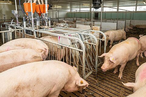 Individual sow feeding with CallBackpro